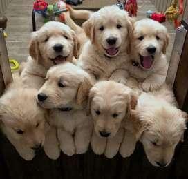 Golden Retriever Los mas tiernos cachorros