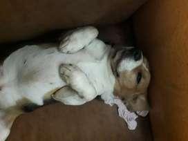Busco novia soy un beagles