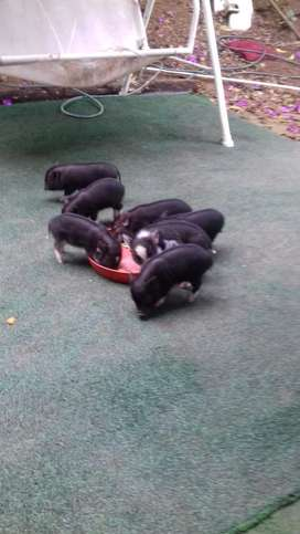 Hermosos mini pigs