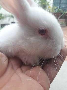 Conejos criollos. Bebe  30 40 días