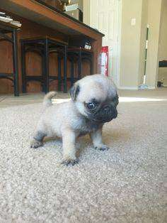 mini cachorros pug