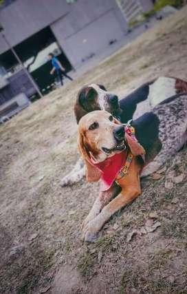 En adopcion perros : pablo y pecosa ( criollos)