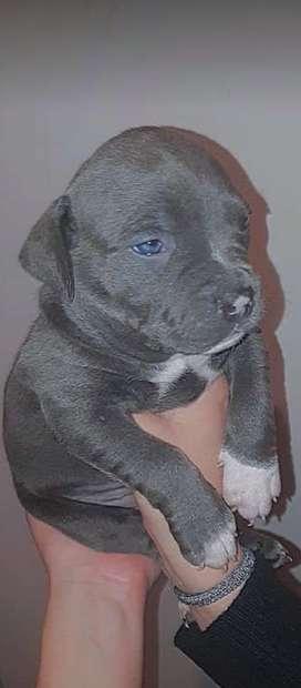Pitbull hembra blue