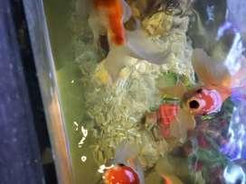 Vendo Hermosos peces Goldfish