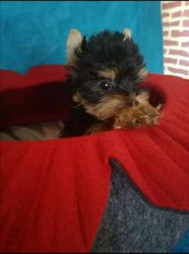 Hermosisimas Cahorritos Yorkshire terrier mini