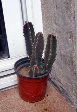Planta Suculenta stapelia grandiflora maceta 9