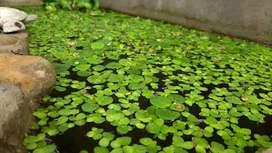 Lenteja de agua (Lemna minor) Planta acuática