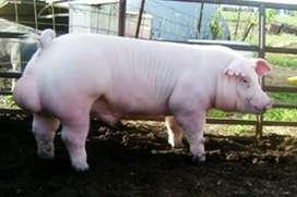 Cerdos para raza