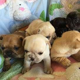 espectaculares cachorros disponibles de 47 dias de vida bulldog frances