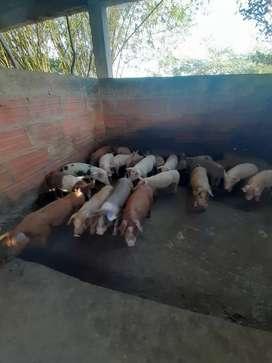 Cerdos para levante