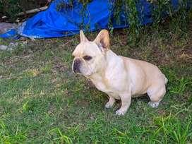 Bulldog Francés Hembra Crema con Pedigree FCA. Hermosa gordita !