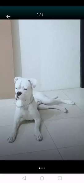 Boxer Albino para monta