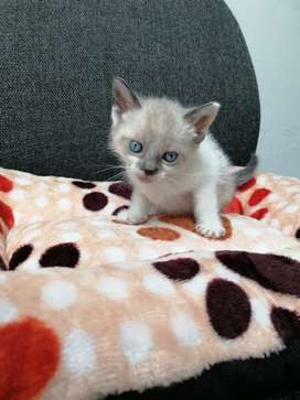 Gato siamés hembra