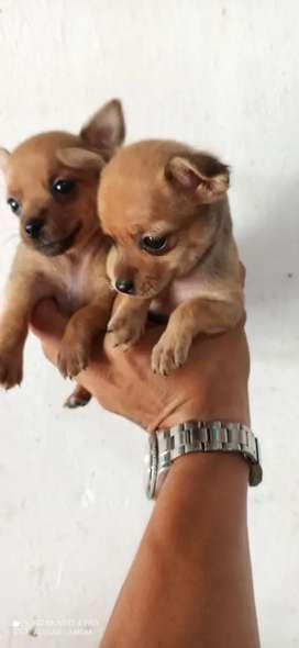 En venta mini pincher Chihuahua