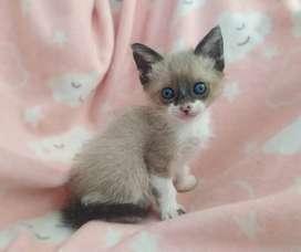 Hermosos gatitos siamés, gatos siameses