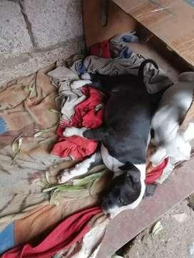 Se venden perritos pitbull 2 machos y 4 embras ya tienen dos meses