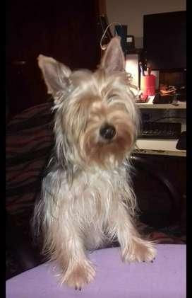 Yorshire terrier hembra adulta joven