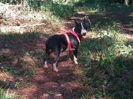 Bull Terrier Macho para servicio