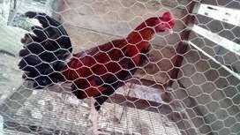 Lindos pollos