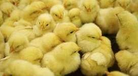 Pollos Pequeños