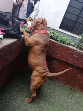 Cachorros bully con pitbull