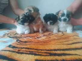 perritos Shihtzu minis claritos y oscuros en venta