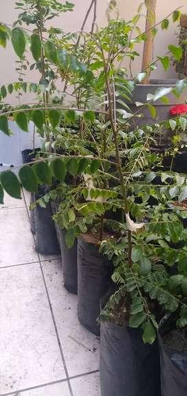 Plantón de Carambola