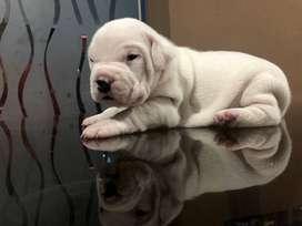 Dogo Argentino Full Pedrigree
