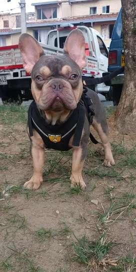 EURO bulldog frances lilac and tan cuadcarriel reproductor,monta,salto,novio,novia