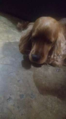 Adopcion de cocker spanish