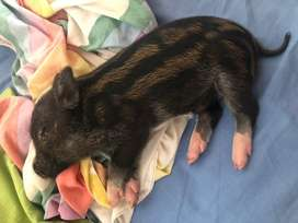 Vendo mini pigs NEGOCIABLES