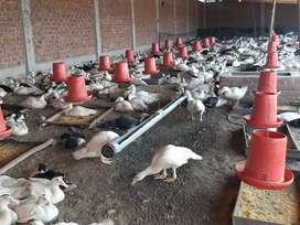 Venta de patos de buena calidad