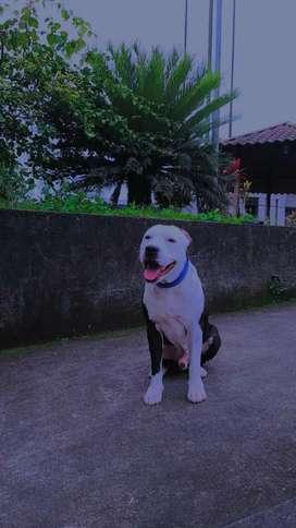 Perro pitbull para monta