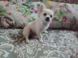 Chihuahuas Mini super pequeños de Cartera