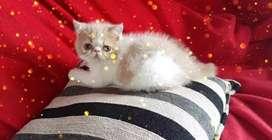 Gatitos Exoticos