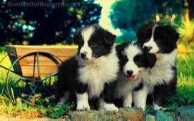 preciosos cachorros border collie