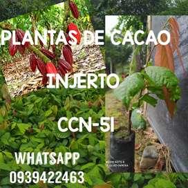 Plantas de cacao ccn51
