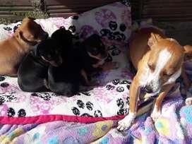 4 perritos pincher tienen un mes de nacidos aprobechen