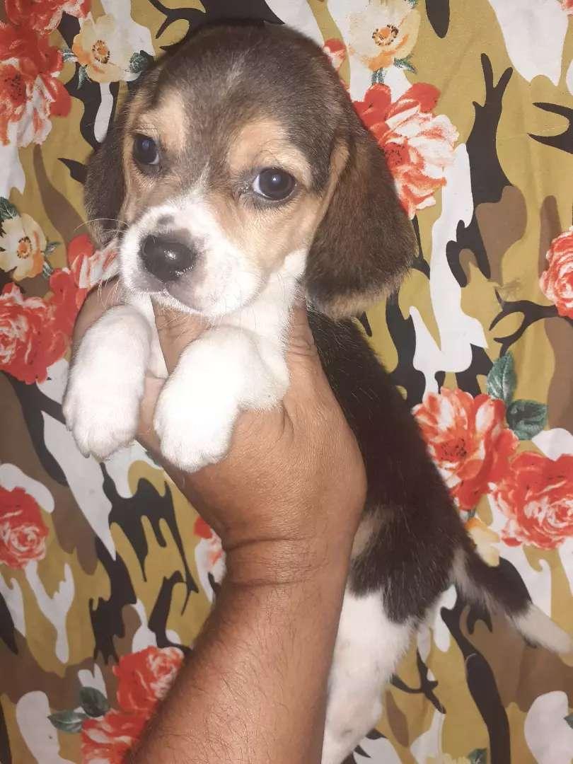 Cachorros beagles para bogota