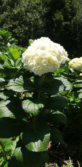 Preciosas Hortensias