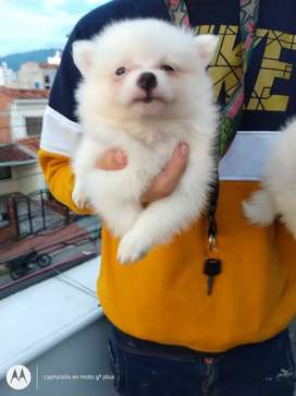 Bello cachorrito Pomerania Lulú mini
