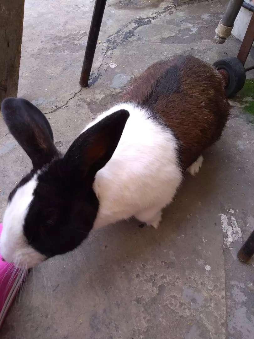 Doy conejo macho  para montar 0