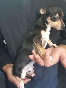 Chihuahuas de bolsillo machos