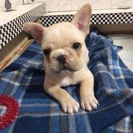 bellos cachorros de 55 dias bulldog frances