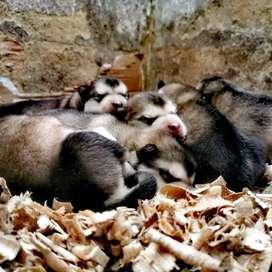 Hermosos cachorritos alaskan Malamute, para entrega 5 de julio
