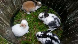 Vendó ermosos conejos para mascota con 3 semanas de nacidos