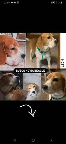 Busco novia para beagle