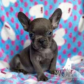 Bulldog frances gris blue. 7 sem de edad.