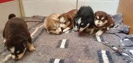 Vendo mis cachorros husky siberiano