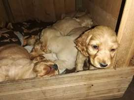Hermosos cachorros cocker disponibles